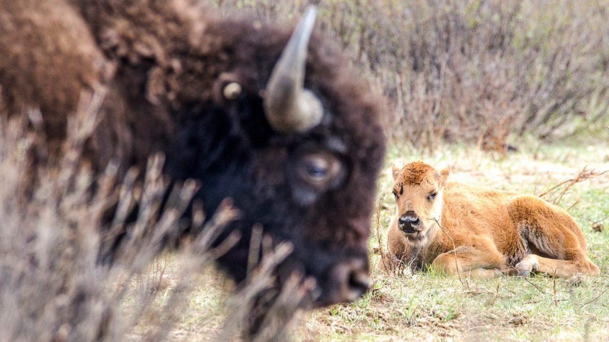 Bison Belong. Photo by Photo: Karsten Heuer / © Parks Canada